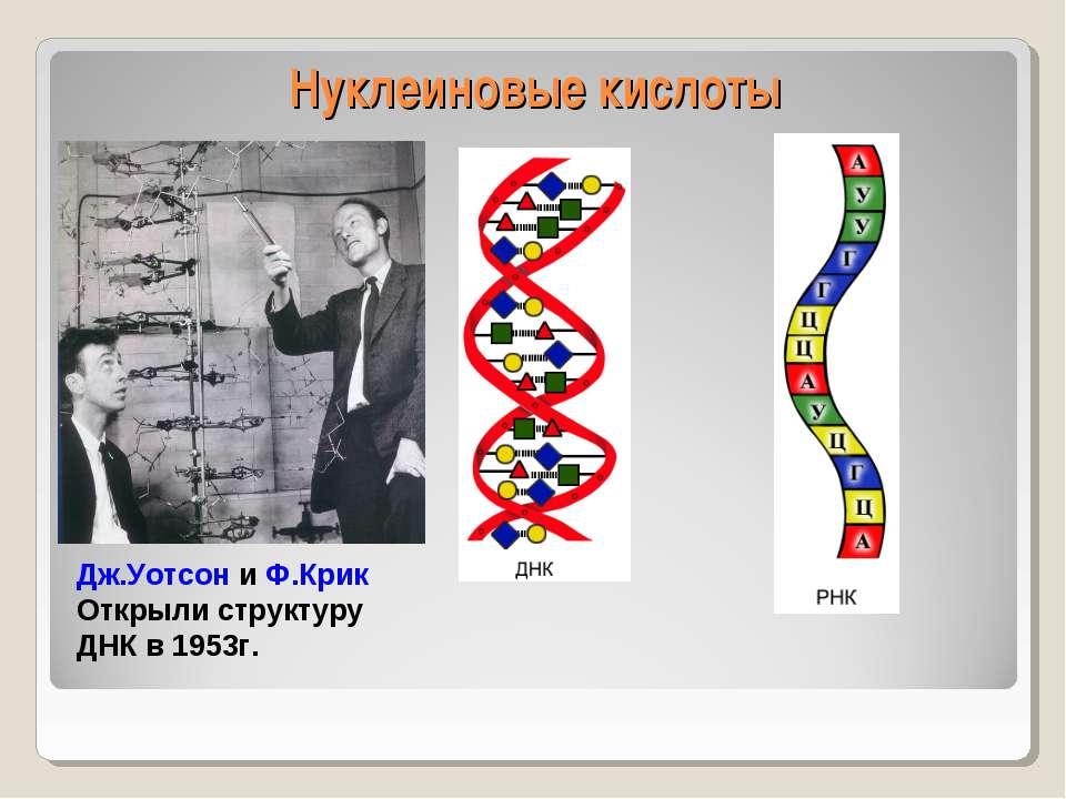 Нуклеиновые кислоты Дж.Уотсон и Ф.Крик Открыли структуру ДНК в 1953г.