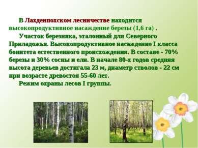 В Лахденпохском лесничестве находится высокопродуктивное насаждение березы (1...