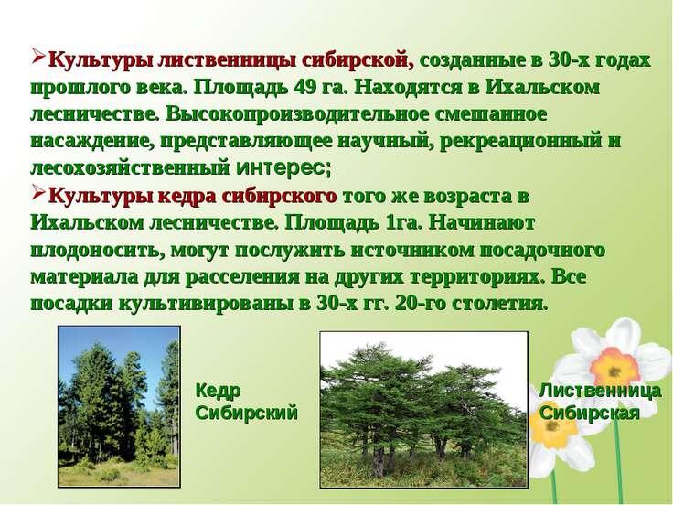 Культуры лиственницы сибирской, созданные в 30-х годах прошлого века. Площадь...