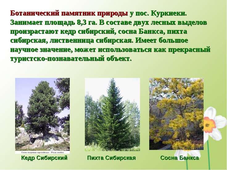 Ботанический памятник природы у пос. Куркиеки. Занимает площадь 8,3 га. В сос...