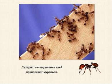 Сахаристые выделения тлей привлекают муравьев.