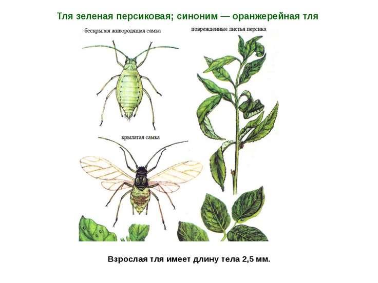 Взрослая тля имеет длину тела 2,5 мм. Тля зеленая персиковая; синоним — оранж...
