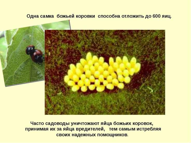 Часто садоводы уничтожают яйца божьих коровок, принимая их за яйца вредителей...