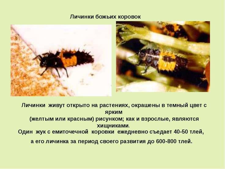 Личинки божьих коровок Личинки живут открыто на растениях, окрашены в темный ...
