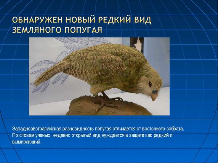 Западноавстралийская разновидность попугая отличается от восточного собрата. ...