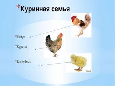 Куринная семья Петух Курица Цыплёнок