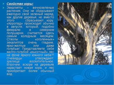 Свойство коры: Эвкалипты – вечнозеленые растения. Они не сбрасывают ежегодно ...