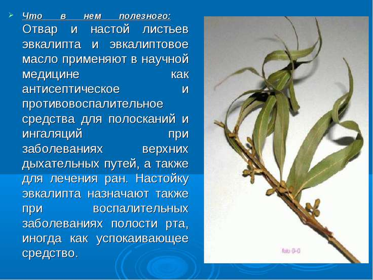 Что в нем полезного: Отвар и настой листьев эвкалипта и эвкалиптовое масло пр...