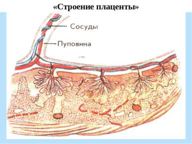 «Строение плаценты»