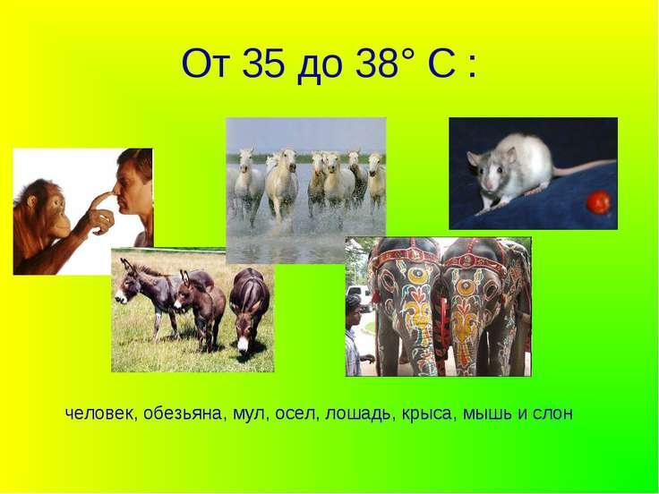 От 35 до 38° С : человек, обезьяна, мул, осел, лошадь, крыса, мышь и слон