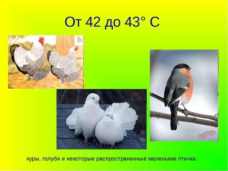 От 42 до 43° С куры, голуби и некоторые распространенные маленькие птички.