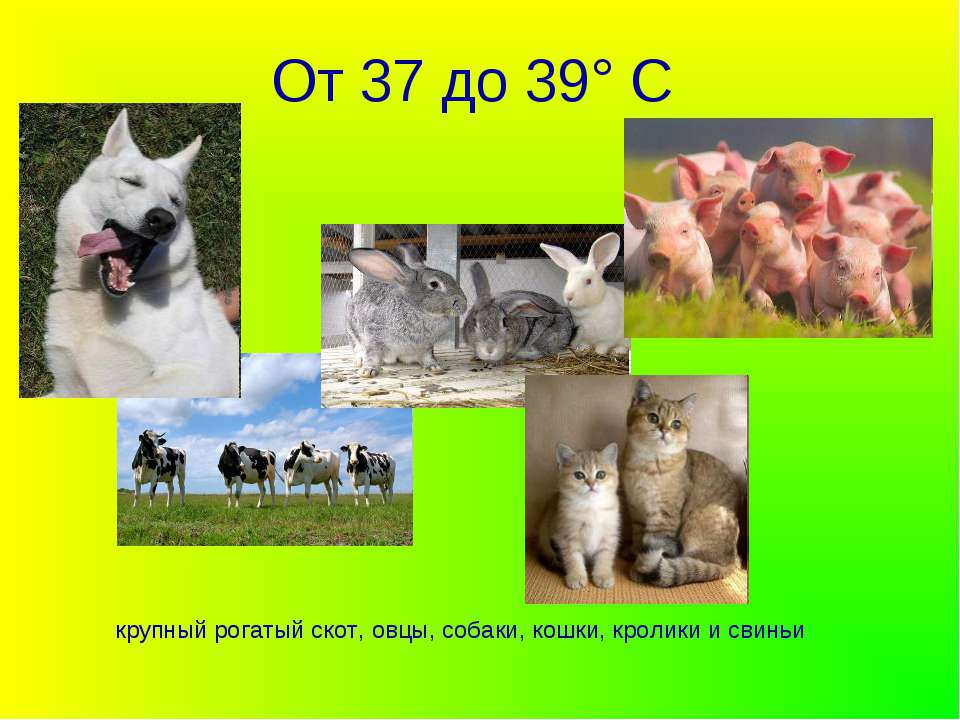 От 37 до 39° С крупный рогатый скот, овцы, собаки, кошки, кролики и свиньи
