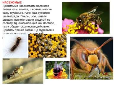 НАСЕКОМЫЕ Ядовитыми насекомыми являются пчелы, осы, шмели, шершни, многие вид...