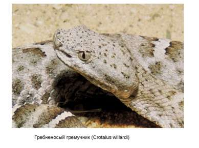 Гребненосый гремучник (Crotalus willardi)