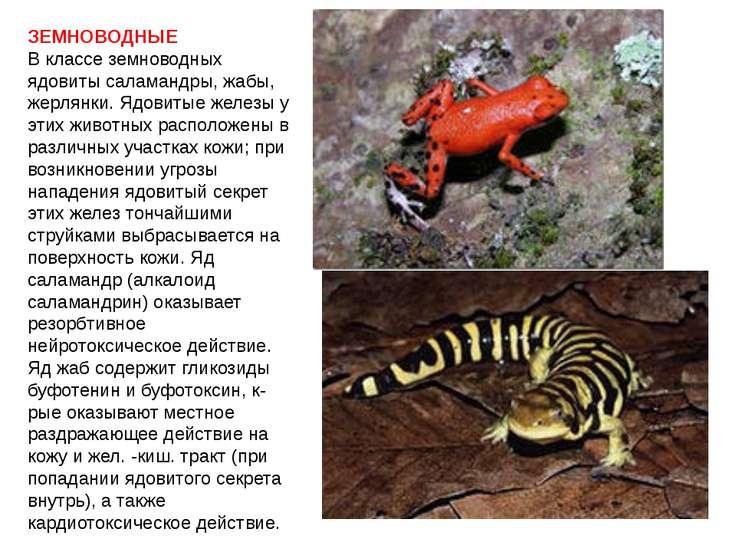 ЗЕМНОВОДНЫЕ В классе земноводных ядовиты саламандры, жабы, жерлянки. Ядовитые...
