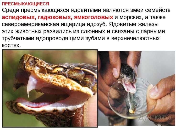 ПРЕСМЫКАЮЩИЕСЯ Среди пресмыкающихся ядовитыми являются змеи семейств аспидовы...