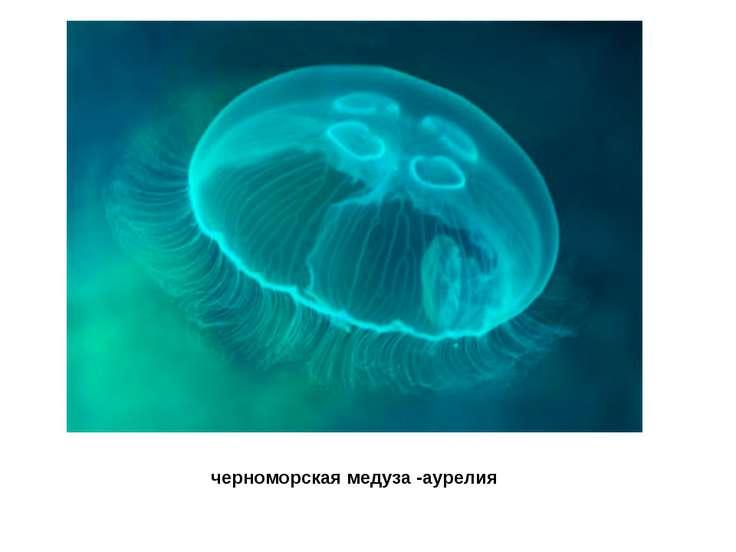 черноморская медуза-аурелия