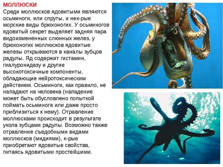 МОЛЛЮСКИ Среди моллюсков ядовитыми являются осьминоги, или спруты, и нек-рые ...