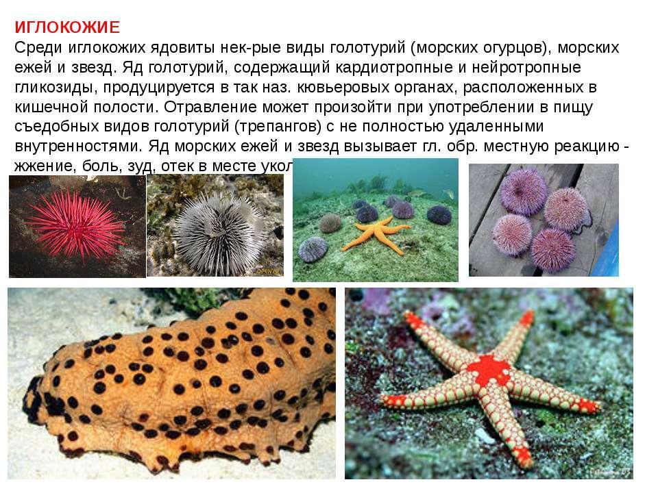 ИГЛОКОЖИЕ Среди иглокожих ядовиты нек-рые виды голотурий (морских огурцов), м...