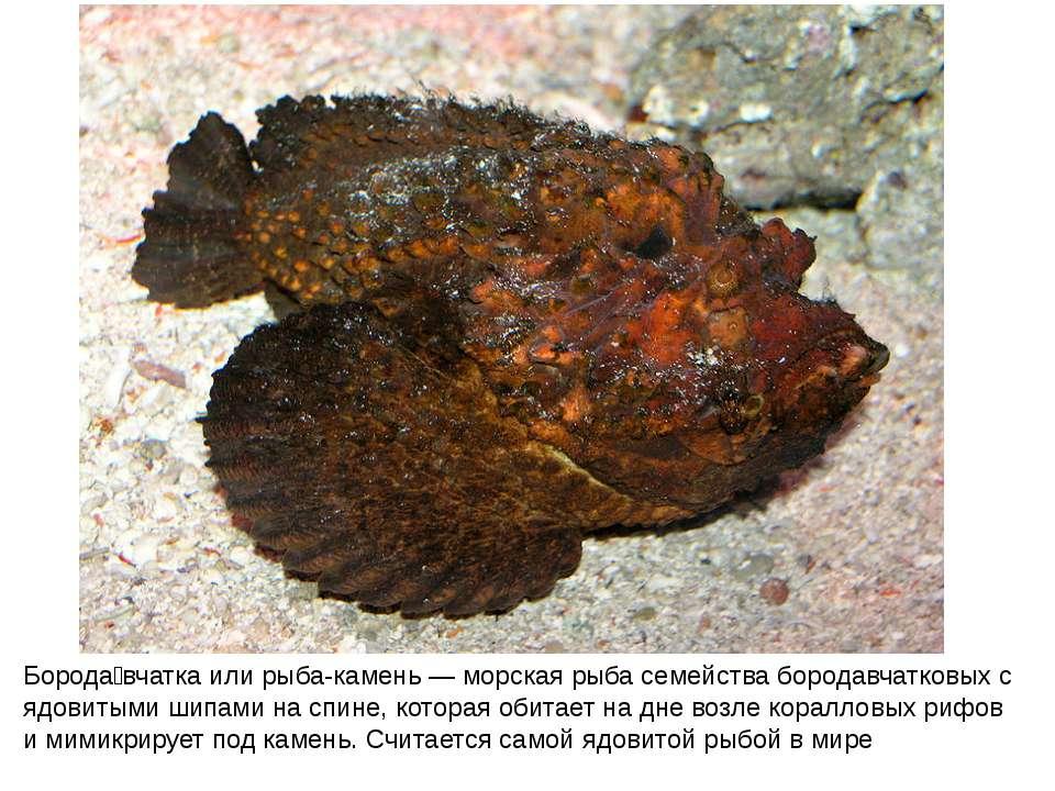 Борода вчатка или рыба-камень — морская рыба семейства бородавчатковых с ядов...