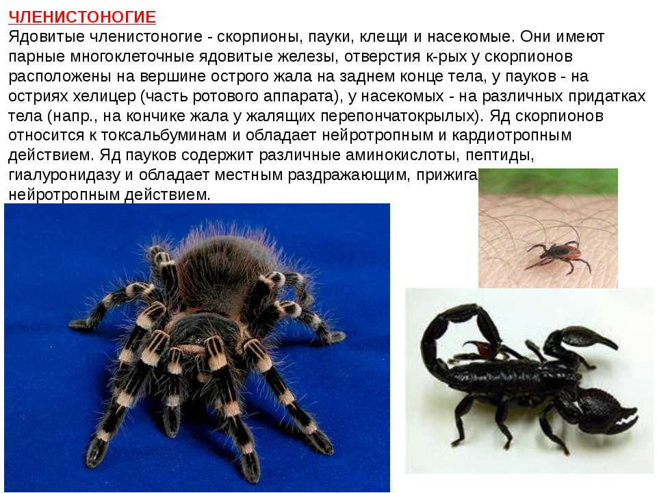 ЧЛЕНИСТОНОГИЕ Ядовитые членистоногие - скорпионы, пауки, клещи и насекомые. О...