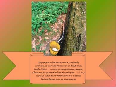 Каучуконос гевея относится к семейству молочайных, насчитывают более 10 видов...