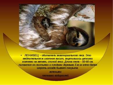ЛЕНИВЕЦ – обитатель экваториального леса. Это медлительное животное висит, за...