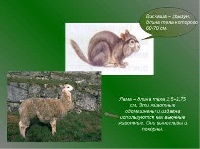 Лама – длина тела 1,5–1,75 см. Эти животные одомашнены и издавна используются...