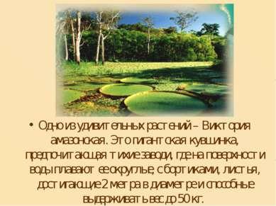 Одно из удивительных растений – Виктория амазонская. Это гигантская кувшинка,...