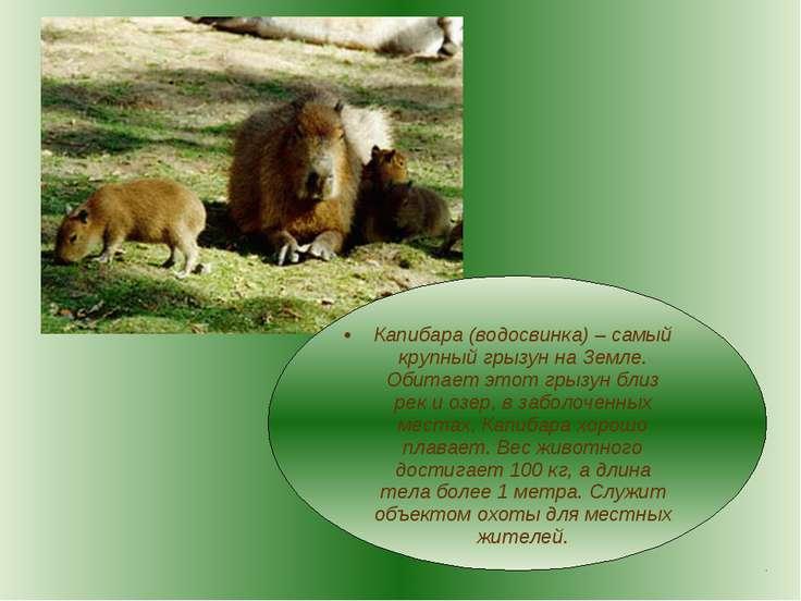 Капибара (водосвинка) – самый крупный грызун на Земле. Обитает этот грызун бл...