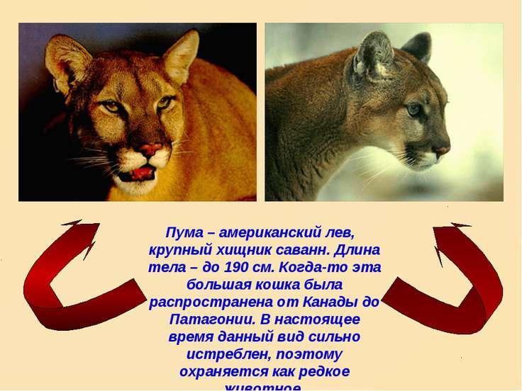 Пума – американский лев, крупный хищник саванн. Длина тела – до 190 см. Когда...