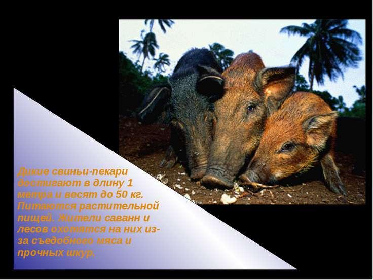 Дикие свиньи-пекари достигают в длину 1 метра и весят до 50 кг. Питаются раст...
