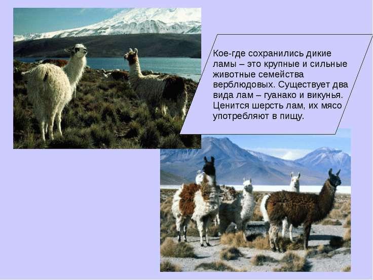 Кое-где сохранились дикие ламы – это крупные и сильные животные семейства вер...