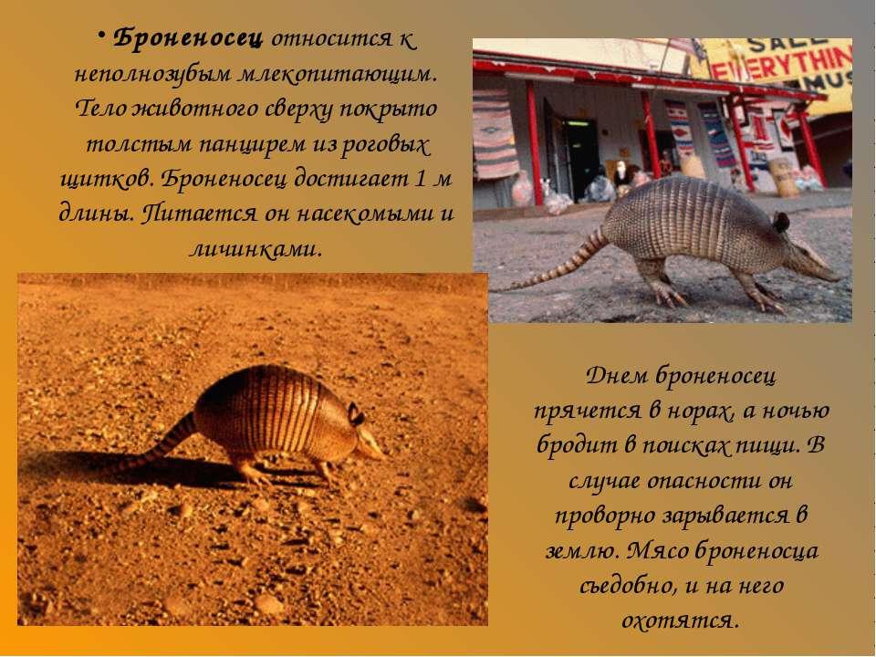 Броненосец относится к неполнозубым млекопитающим. Тело животного сверху покр...