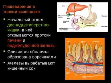 Пищеварение в тонком кишечнике Начальный отдел – двенадцатиперстная кишка, в ...