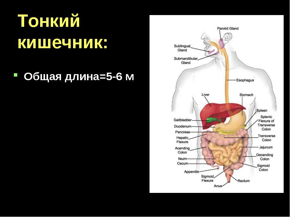 Тонкий кишечник: Общая длина=5-6 м