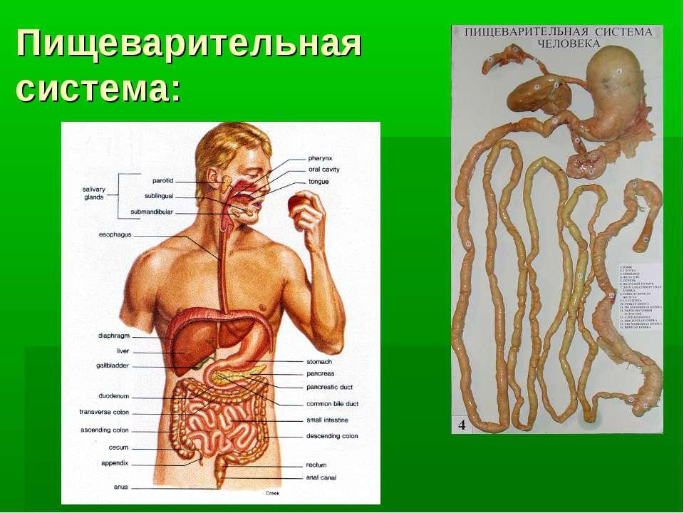 Пищеварительная система: