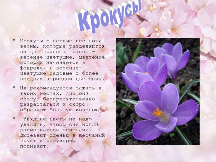 Крокусы - первые вестники весны, которые разделяются на две группы: ранне –ве...