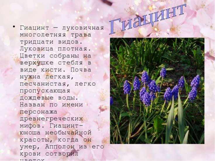Гиацинт — луковичная многолетняя трава тридцати видов. Луковица плотная. Цвет...