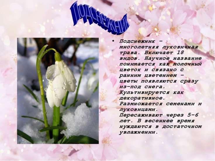 Подснежник - многолетняя луковичная трава. Включает 18 видов. Научное названи...