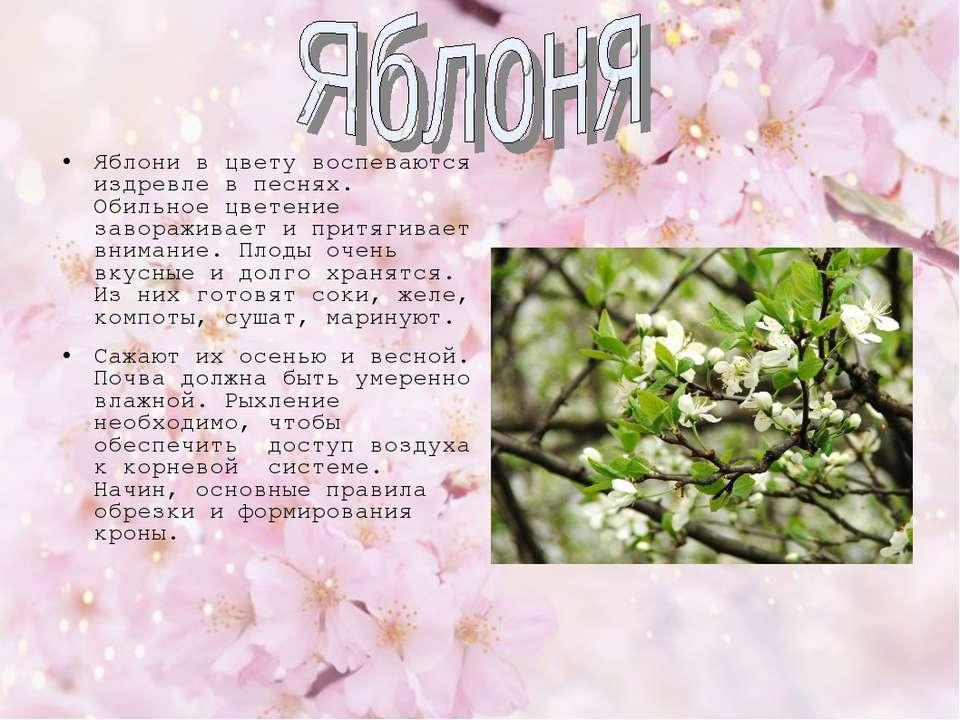 Яблони в цвету воспеваются издревле в песнях. Обильное цветение завораживает ...