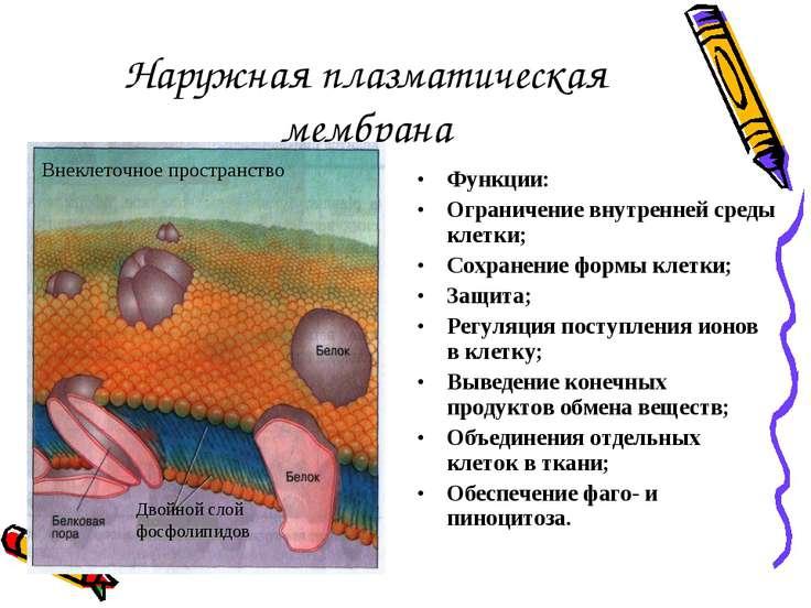 Наружная плазматическая мембрана Функции: Ограничение внутренней среды клетки...