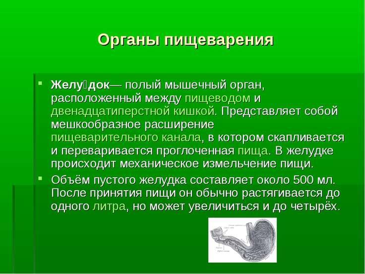 Органы пищеварения Желу док— полый мышечный орган, расположенный между пищево...