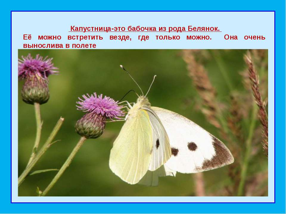 Капустница-это бабочка из рода Белянок. Её можно встретить везде, где тольк...