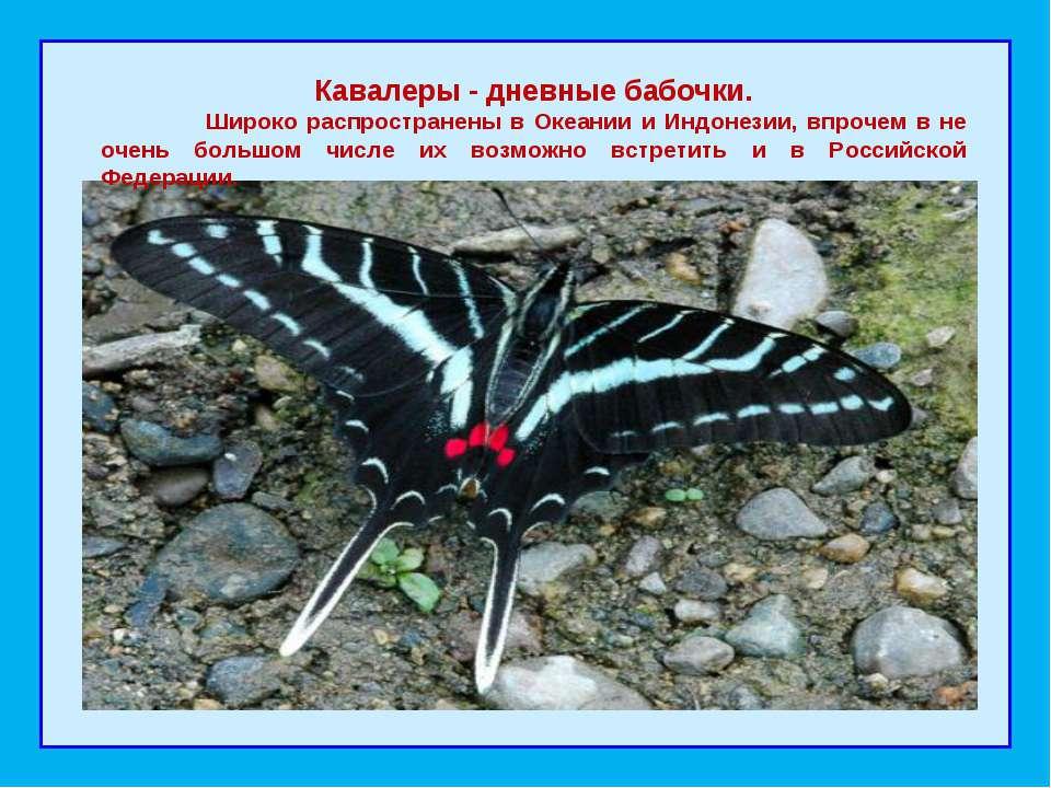 Кавалеры - дневные бабочки. Широко распространены в Океании и Индонезии, впр...