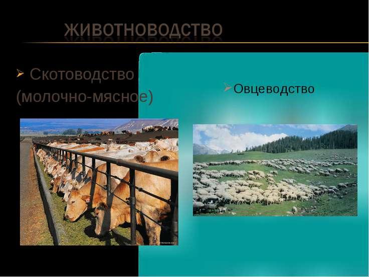 Скотоводство (молочно-мясное) Овцеводство