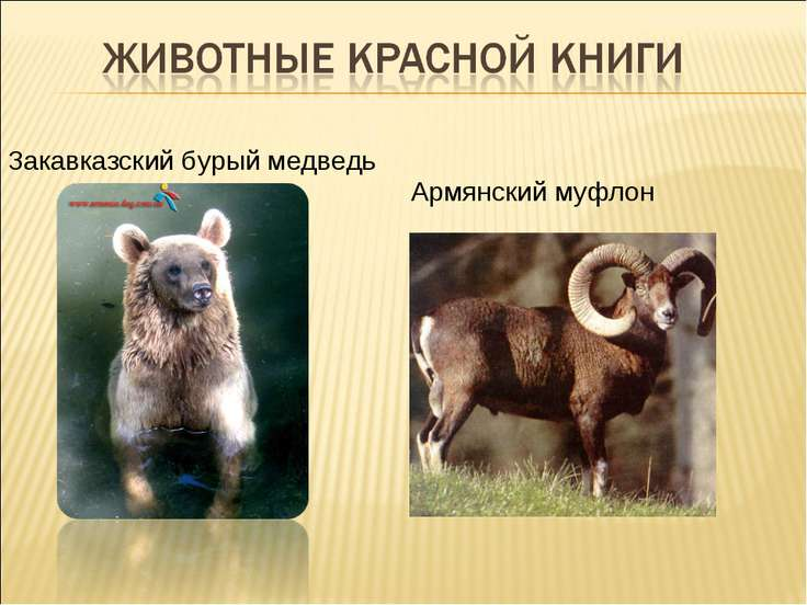Закавказский бурый медведь Армянский муфлон
