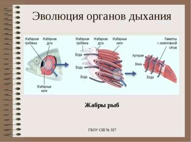 Жабры рыб ГБОУ СШ № 327 Эволюция органов дыхания ГБОУ СШ № 327