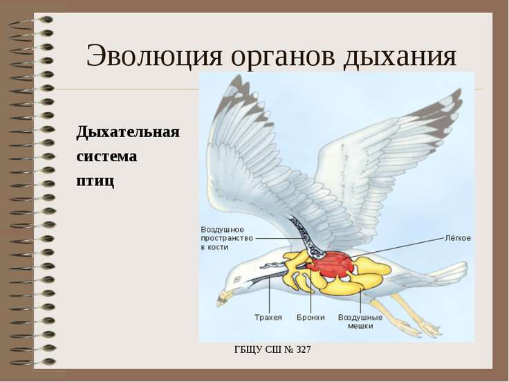 Дыхательная система птиц ГБЩУ СШ № 327 Эволюция органов дыхания ГБЩУ СШ № 327