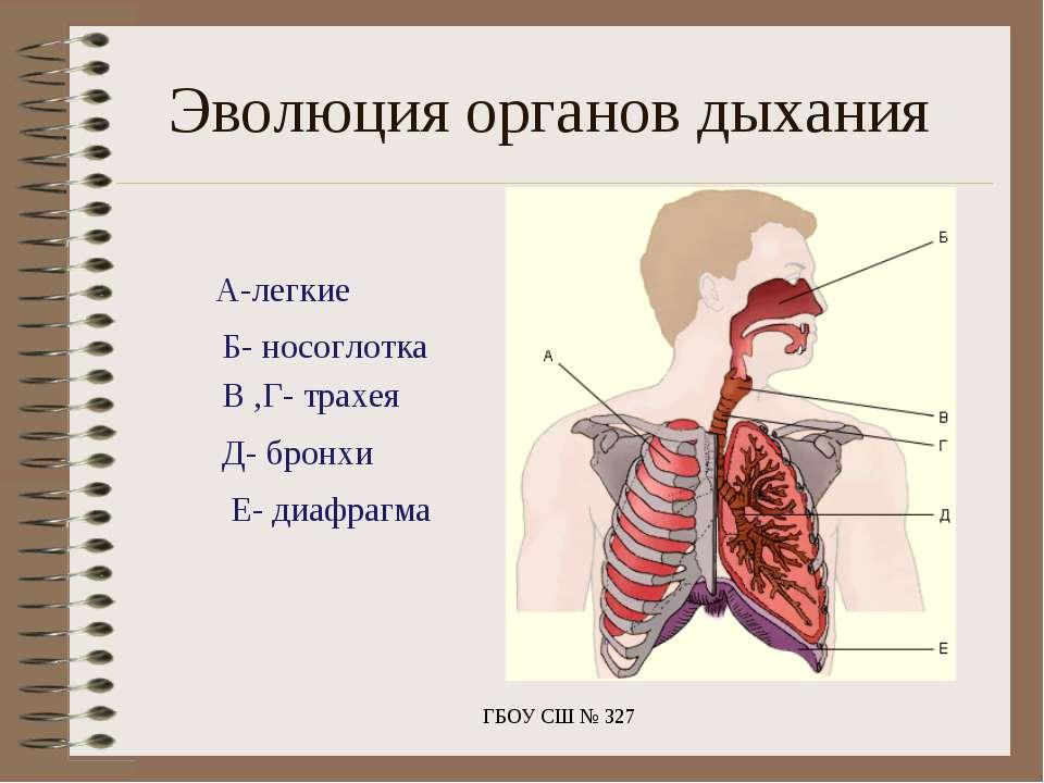 Эволюция органов дыхания ГБОУ СШ № 327 А-легкие Б- носоглотка В ,Г- трахея Д-...